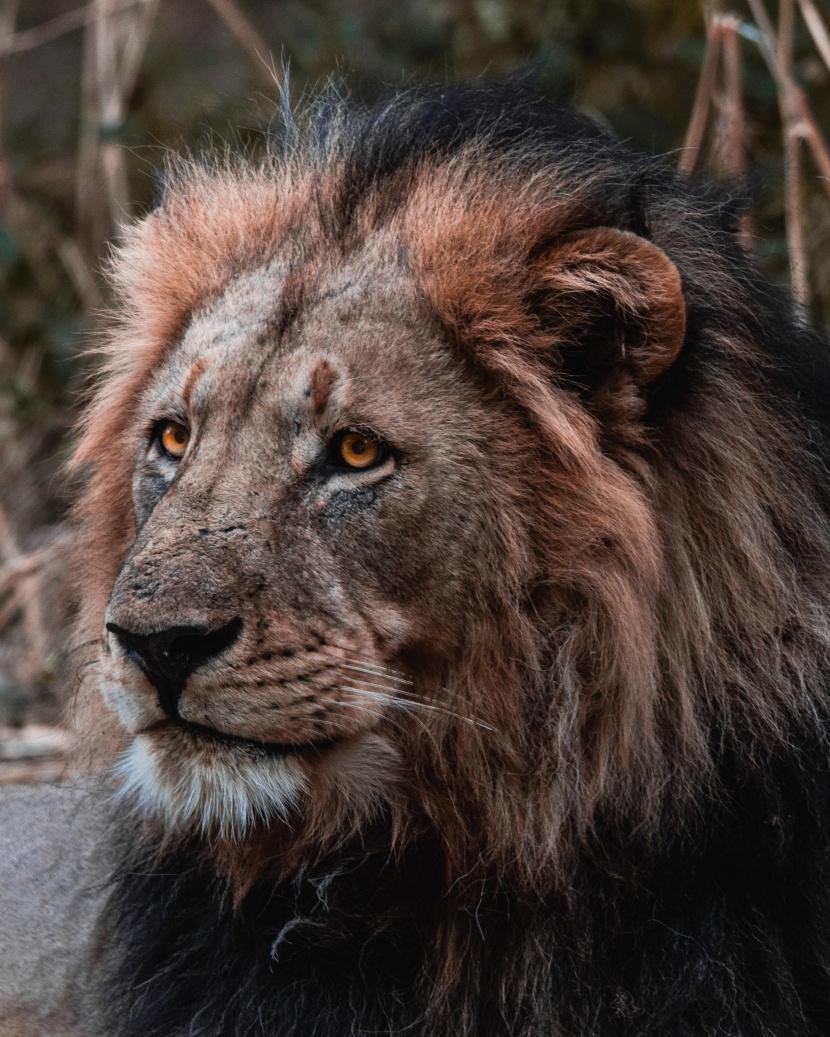 凶猛的狮子图片