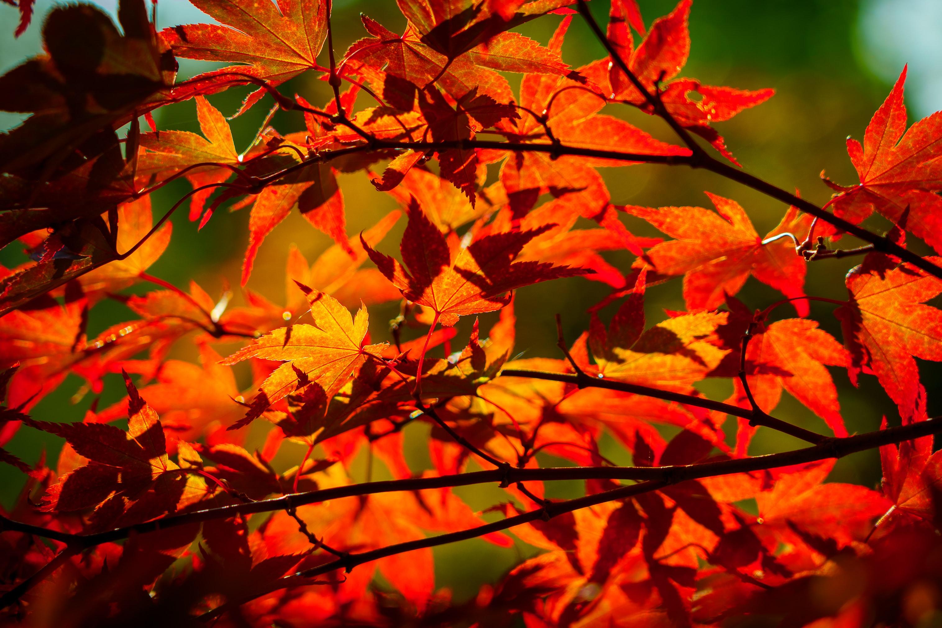 秋天红色的枫叶图片桌面壁纸