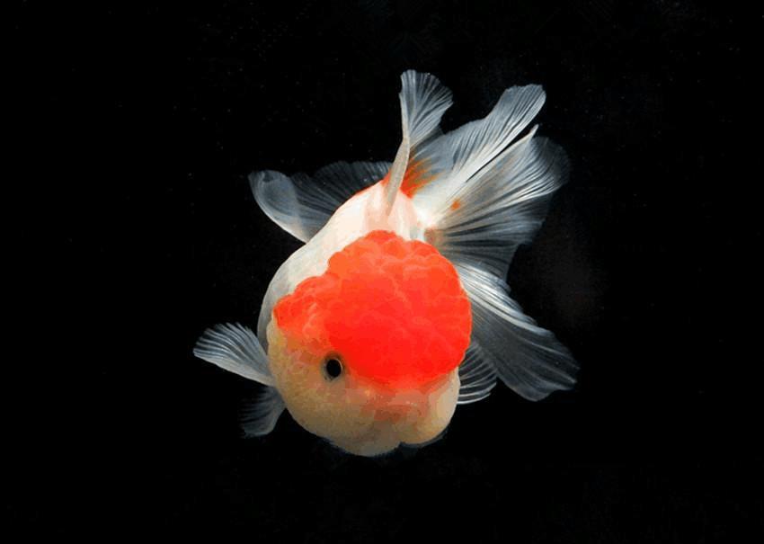 可爱的兰寿金鱼