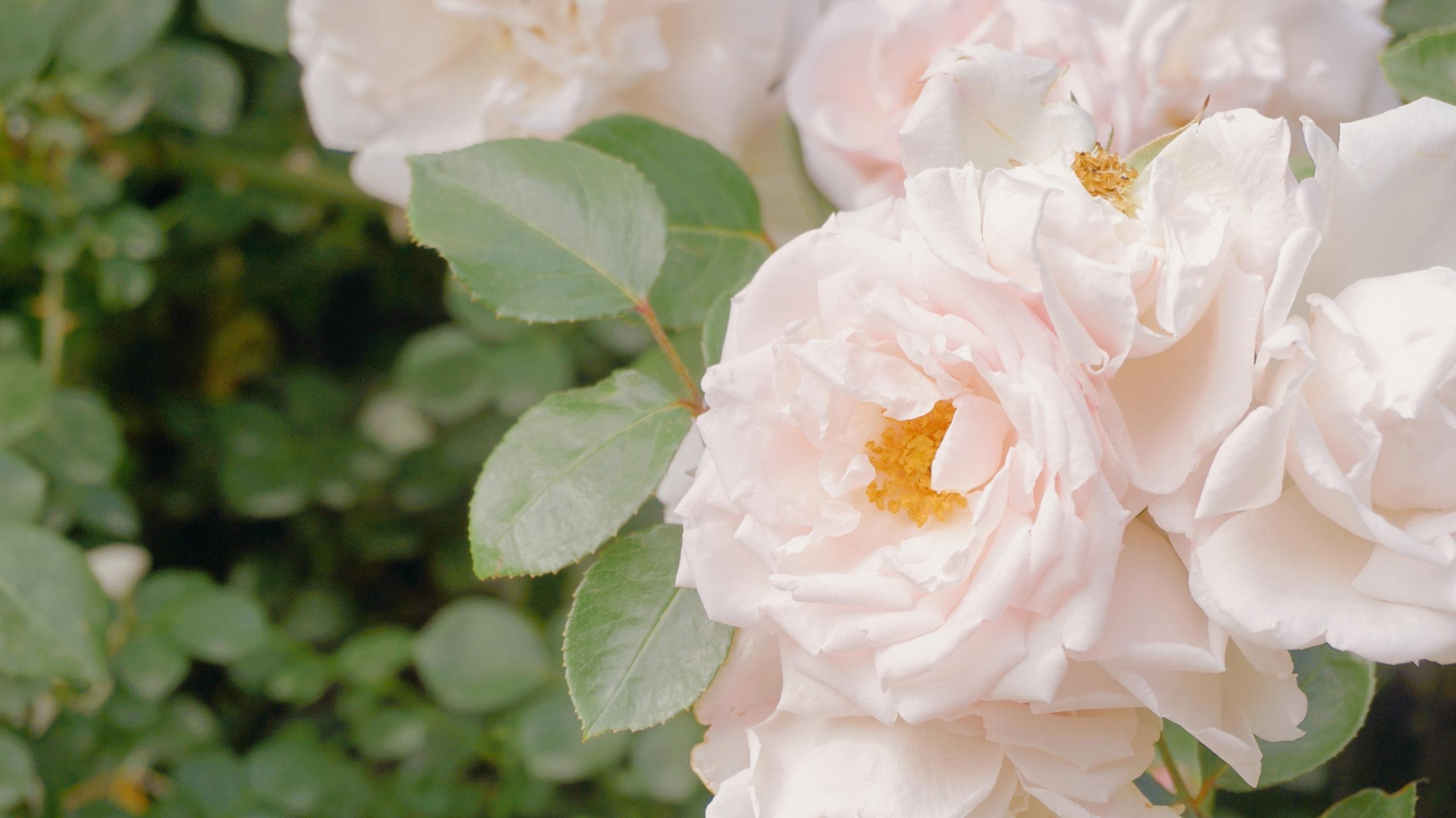 粉嫩的月季花图片桌面壁纸