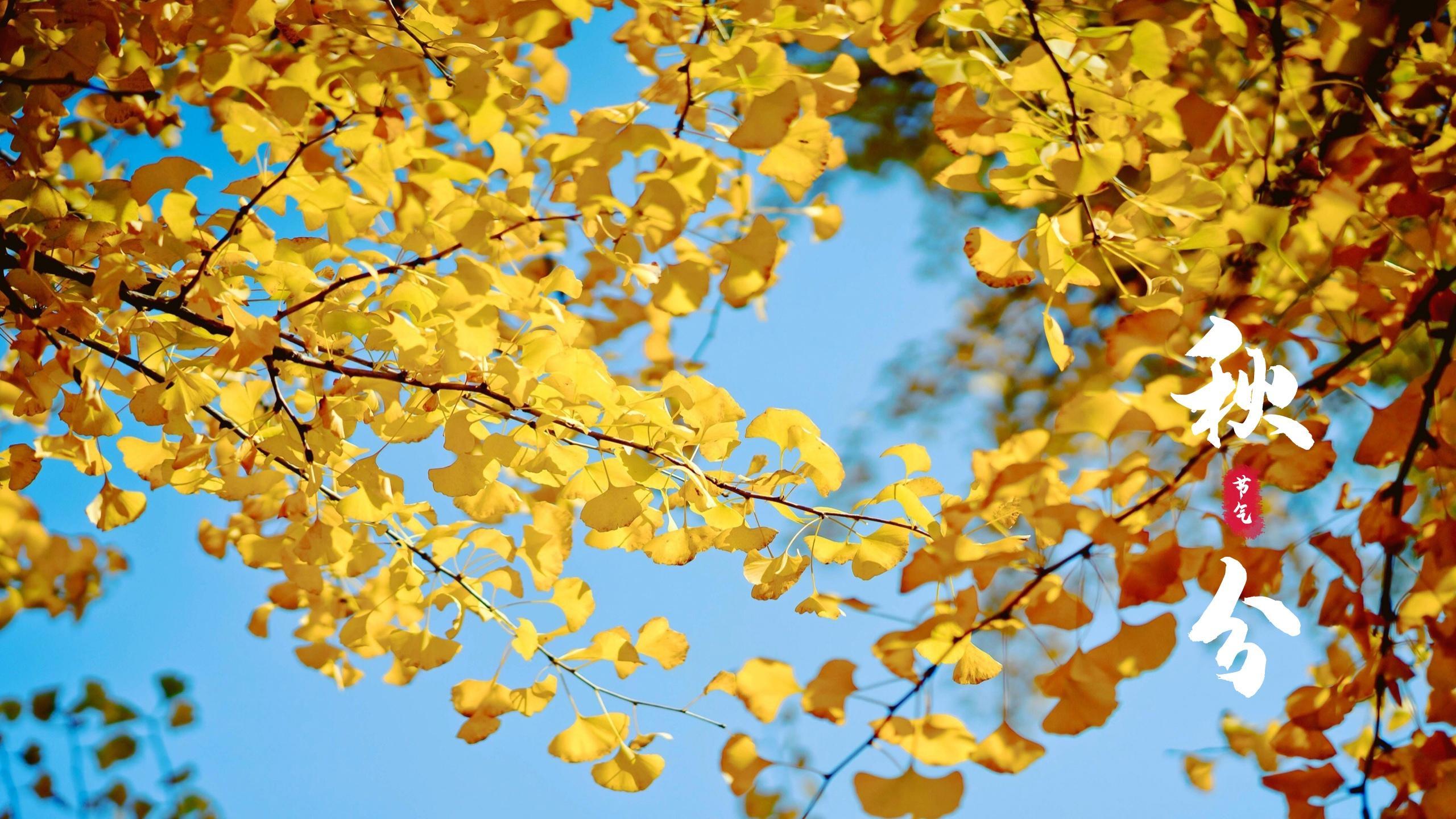 节气秋分唯美银杏风景图片桌面壁纸