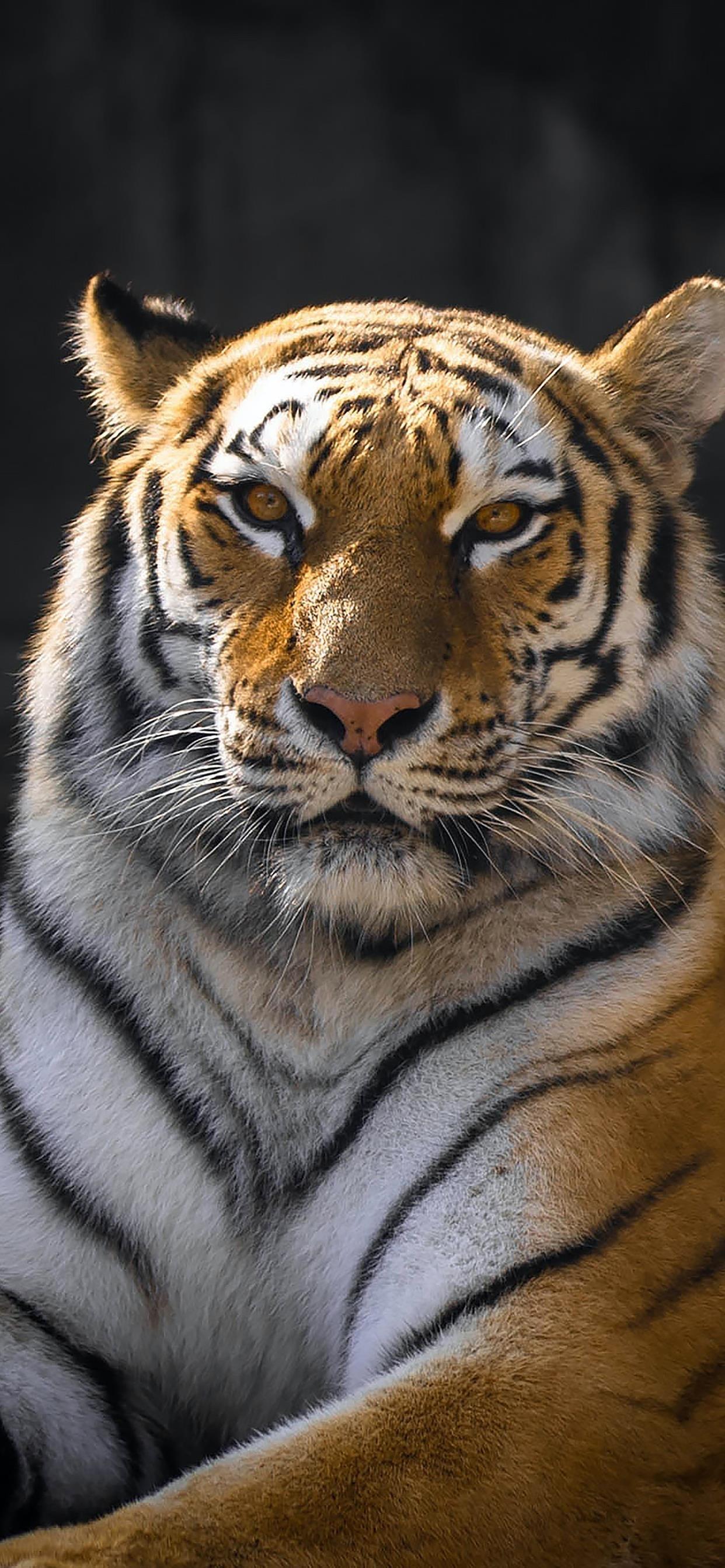 老虎摄影图片手机壁纸